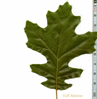 image of Quercus velutina, Black Oak