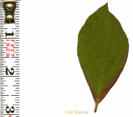 crenate: Aronia arbutifolia, Red Chokeberry