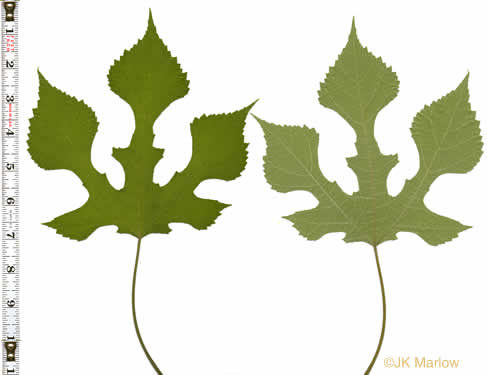 leaves of Mulberry species: Broussonetia papyrifera, Broussonetia papyrifera, Broussonetia papyrifera