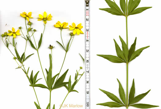 Coreopsis major var. rigida, Whorled Coreopsis, Stiffleaf Coreopsis, Greater Tickseed, Whorled Tickseed