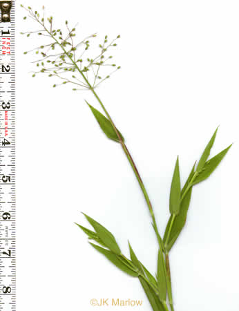 image of Dichanthelium acuminatum var. acuminatum, Woolly Rosette Grass, Woolly Witchgrass, Tapered Rosette Grass, Woolly Panicum