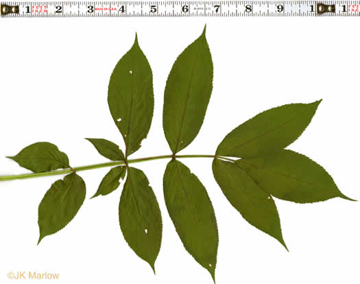 pinnately compound leaves of shrubs: Sambucus canadensis, Sambucus nigra ssp. canadensis, Sambucus canadensis