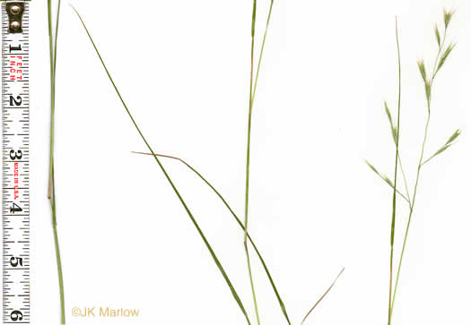 image of Danthonia compressa, Mountain Oatgrass, Flattened Oatgrass, Allegheny Flyback
