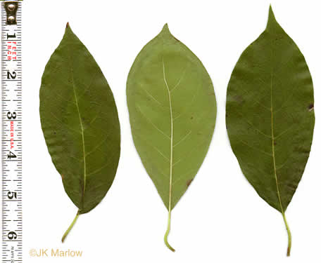 image of Nyssa sylvatica, Blackgum, Black Tupelo, Sour Gum
