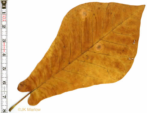 leaf or frond of Magnolia fraseri, Fraser Magnolia, Mountain Magnolia, Earleaf Umbrella-tree, Umbrella Tree