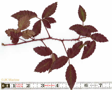 Rubus trivialis, Southern Dewberry, Coastal Plain Dewberry