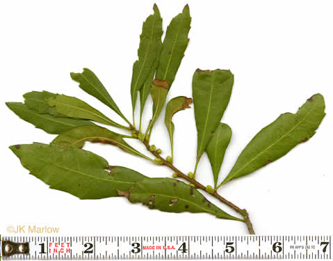 image of Morella cerifera, Common Wax Myrtle, Southern Bayberry