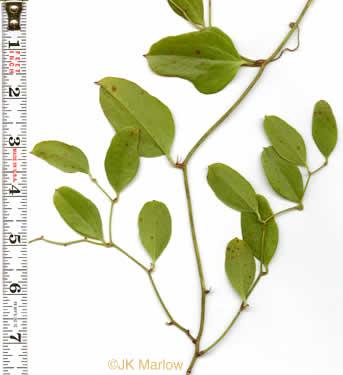 image of Smilax auriculata, Dune Greenbrier