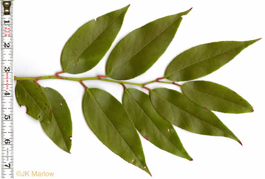 image of Leucothoe fontanesiana, Mountain Doghobble, Switch-ivy