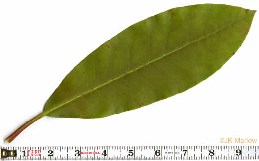 leaf or frond of Rhododendron maximum, Rosebay Rhododendron, Great Laurel, White Rosebay, Great Rhododendron