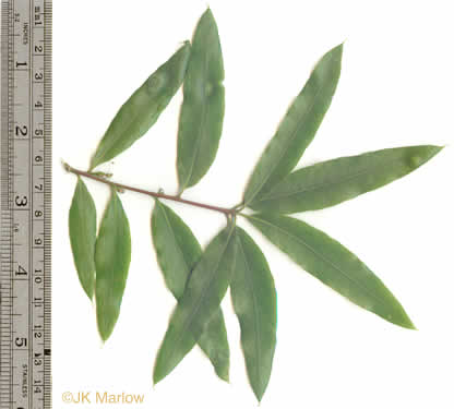 leaf or frond of Quercus phellos, Willow Oak