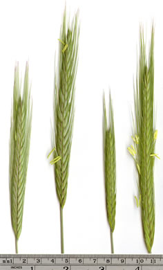 awn: Secale cereale, Cereal Rye