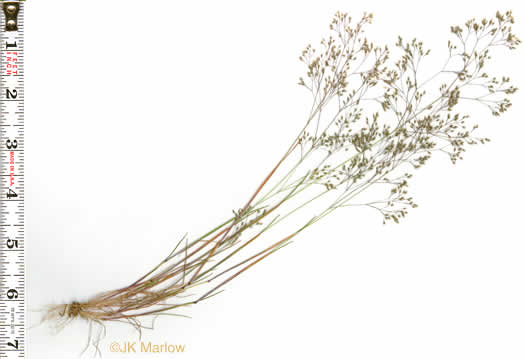 image of Aira elegans, Elegant Hairgrass, Annual Silver Hairgrass
