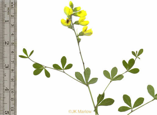 leaves that are trifoliolate and palmately compound: Baptisia tinctoria, Baptisia tinctoria, Baptisia tinctoria