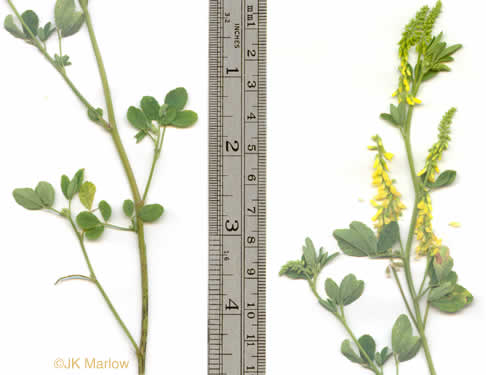 image of Melilotus officinalis, Yellow Sweetclover, Yellow Melilot, Ribbed Melilot