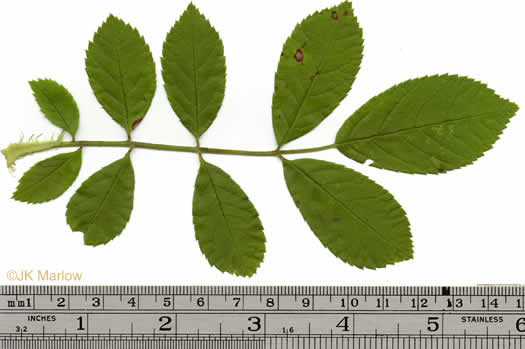 pinnately compound leaves of shrubs: Rosa multiflora, Rosa multiflora, Rosa multiflora
