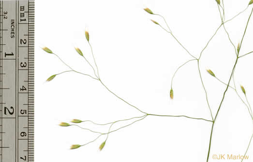 spikelet: Avenella flexuosa, Deschampsia flexuosa var. flexuosa, Deschampsia flexuosa