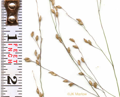 image of Panicum virgatum var. virgatum, Switchgrass, Prairie Switchgrass