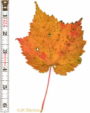 image of Acer spicatum, Mountain Maple