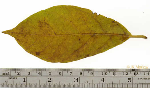 picture of Lindera benzoin, image of Lindera benzoin