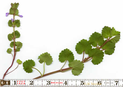 image of Glechoma hederacea, Ground Ivy, Gill-over-the-ground, Creeping Charlie