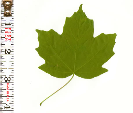 Acer leucoderme, Chalk Maple, Small Chalk Maple, White-bark Maple
