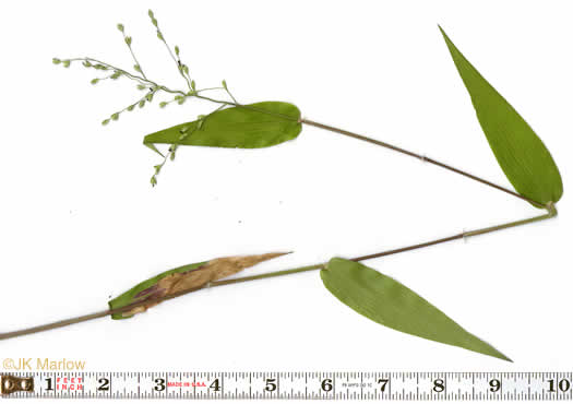 picture of Panicum ravenelii, image of Dichanthelium ravenelii