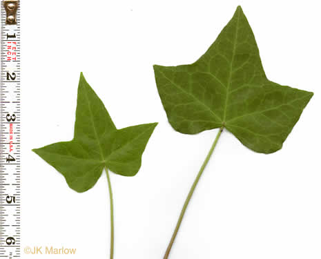 palmately veined leaves of vines: Hedera helix var. helix, Hedera helix, Hedera helix