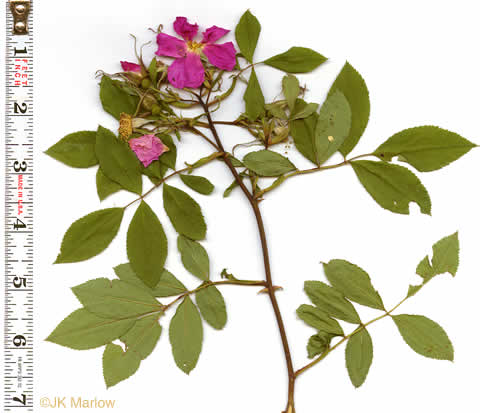 leaves of Carolina Rose and Swamp Rose: Rosa palustris, Rosa palustris, Rosa palustris