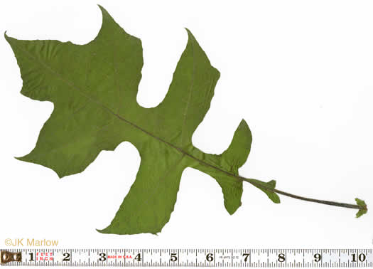 petiole: Polymnia canadensis, Small-flowered Leafcup, White-flowered Leafcup
