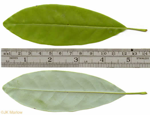 leaves of Magnolia species: Magnolia virginiana +, Magnolia virginiana, Magnolia virginiana