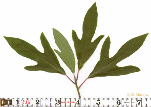 leaves of Giant Ragweed and Sassafras: Sassafras albidum, Sassafras albidum, Sassafras albidum