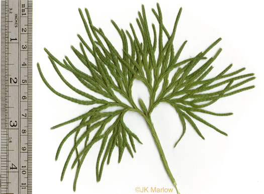 image of Diphasiastrum digitatum, Southern Ground-cedar, Common Running-cedar, Fan Ground-pine, Running Ground-pine