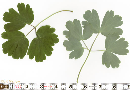 Aquilegia canadensis, Aquilegia canadensis, Aquilegia canadensis