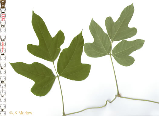 pinnately compound leaves of vines: Pueraria montana var. lobata, Pueraria montana var. lobata, Pueraria lobata