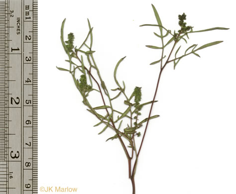image of Ambrosia species 1, Outcrop Ragweed, Glade Ragweed