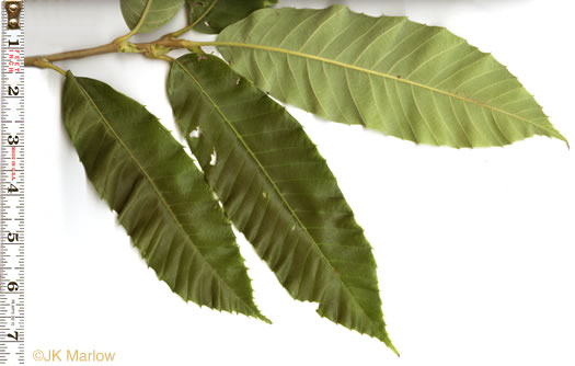 leaf or frond of Castanea mollissima, Chinese Chestnut