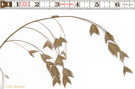 spikelet: Chasmanthium latifolium, River Oats, Northern Sea Oats, Fish-on-a-Pole, Indian Woodoats