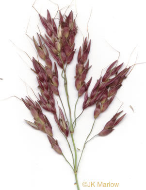 awn: Sorghum halepense, Johnsongrass