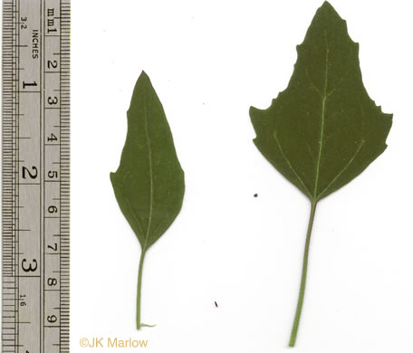 image of Chenopodium album, Lambsquarters, Pigweed