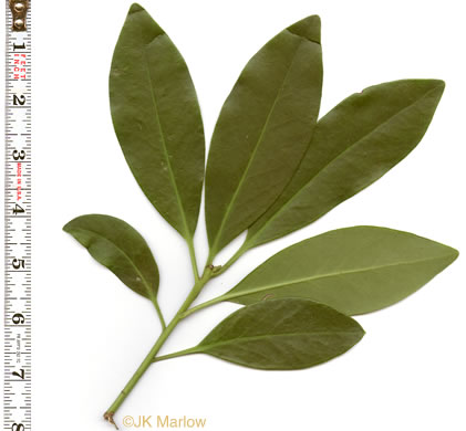 image of Illicium parviflorum, Swamp Star-anise, Yellow Anise-tree, Ocala Anise-tree