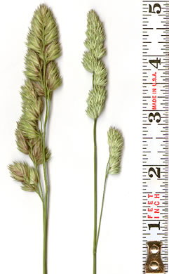 spikelet: Dactylis glomerata, Orchard Grass