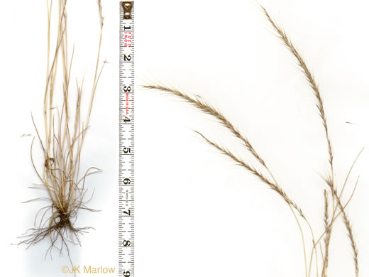 sheath: Festuca myuros, Rat-tail Fescue