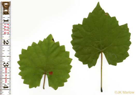 leaves of grape-like species: Muscadinia rotundifolia var. rotundifolia, Vitis rotundifolia var. rotundifolia, Vitis rotundifolia
