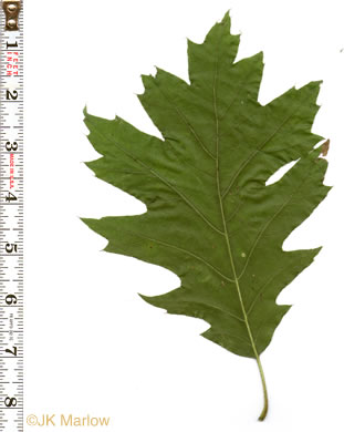 leaf or frond of Quercus rubra +, Northern Red Oak, Red Oak