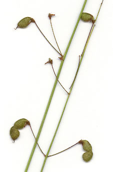 image of Desmodium marilandicum, Smooth Small-leaf Tick-trefoil, Maryland Tick-trefoil