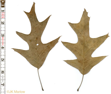 leaves of Cherrybark Oak and Southern Red Oak: Quercus pagoda, Quercus pagoda, Quercus falcata var. pagodaefolia