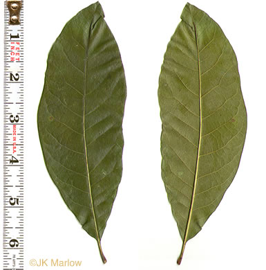 leaf or frond of Quercus imbricaria, Shingle Oak
