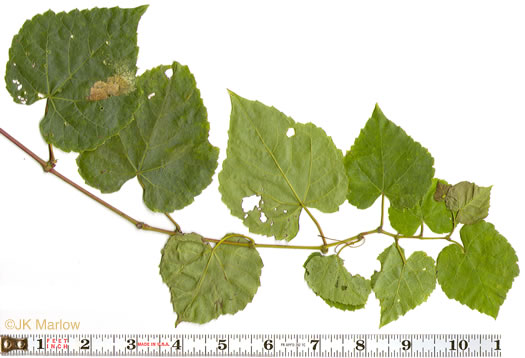 leaves of grape-like species: Vitis vulpina, Vitis vulpina, Vitis vulpina