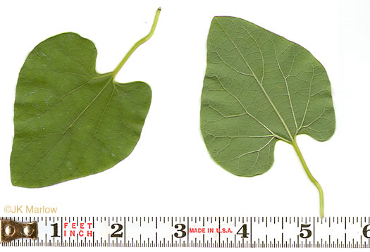 leaf or frond of Isotrema tomentosum, Woolly Pipevine, Woolly Dutchman's Pipe